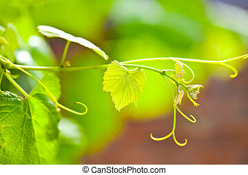 Grapevine closeup on green background