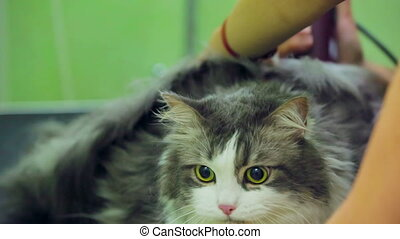 Scared cat at a groomer