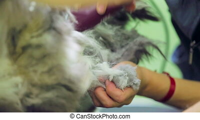 Shaving a cat - Two veterinarians shaving a scared cat