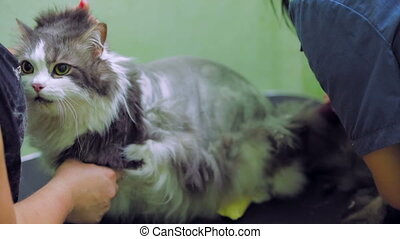 Groomer at work - Cat at a groomer salon