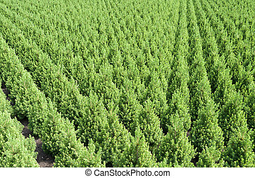 Yew taxus needle trees at a nursery. - Rows of yew taxus...