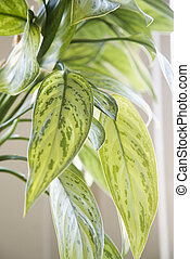 Houseplant - Green leaves of Chinese Evergreen houseplant