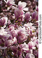 Magnolia Tree - Blooming of a Magnolia Tree