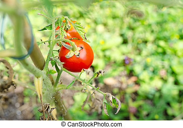 Ripe tomatoes in home garden - Top view of ripe tomatoes...