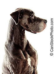 purebred dog - Grey Great Dane sitting over white background