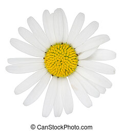 Marguerite flower - Blossom of Marguerite flower isolated on...