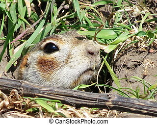 Gophers of Altai - Gophers of Altai are harmful rodents of...