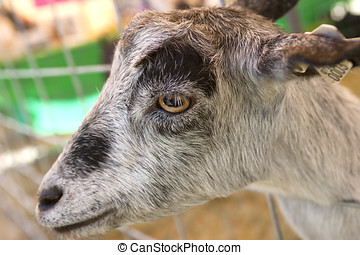 Close up of a goat - A close up of a friendly goat