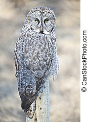 Great Grey Owl Perched - Perched on a fence post, this Great...