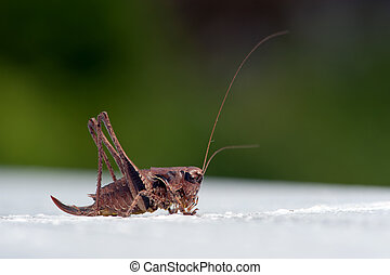 The dark bush-cricket (Pholidoptera griseoaptera), female -...