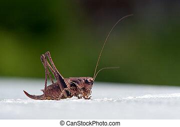 The dark bush-cricket (Pholidoptera griseoaptera), female -...