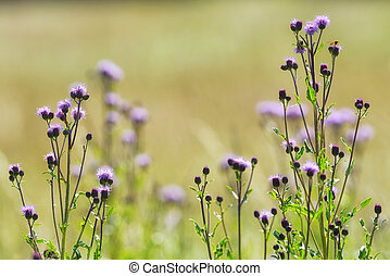 Thistles with pink flowers