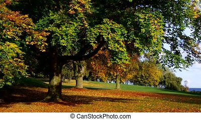 beech tree in fall - beech trees in fall