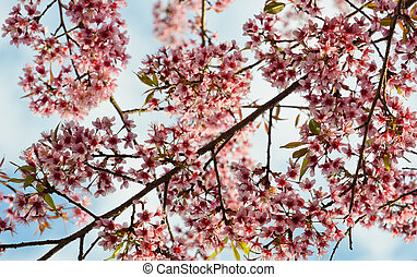 Cherry blossom - Wild Himalayan cherry blossom