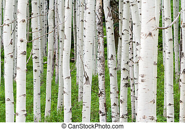 Aspens - Aspen forest near Crested Butte, Colorado.