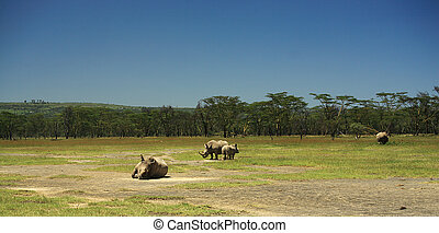 Rhino at lake Nakuru - White rhino at lake Nakuru Rift...