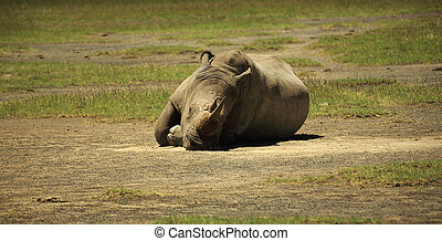 Sleeping Rhino at Lake Nakuru Rift Valley Kenya