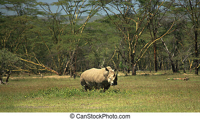 White Rhino at Lake Nakuru Rift Valley Kenya