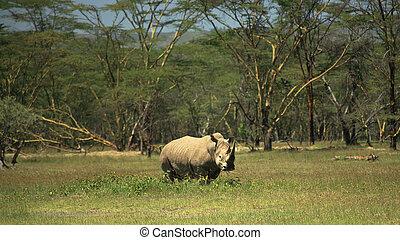 White Rhino at Lake Nakuru Rift Valley Kenya