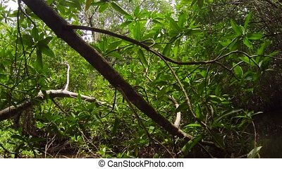 Dense thickets of mangrove trees - Video 1920x1080 - Dense...