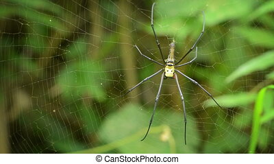 Big spider in its web - Nephila - Video 1920x1080 - Big...
