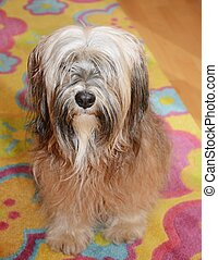 Tibetan Terrier - Long-haired brown tibetan terrier dog