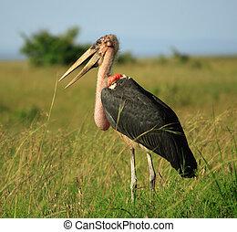 Marabou stork Masai Mara National Park Kenya