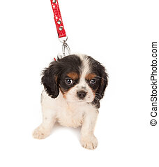 Going out - Six weeks old King Charles puppy dog on a red...