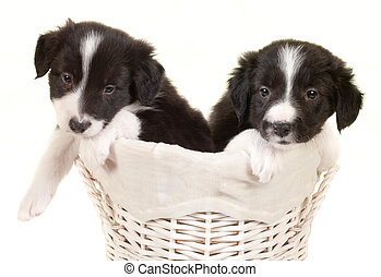 Twin border collie puppies
