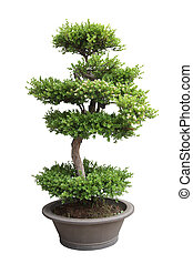 bonsai, árbol, olmo