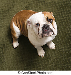 English bulldog. - English bulldog puppy sitting on carpet...