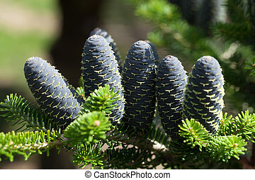 Cones of Korean Fir - Abies koreana
