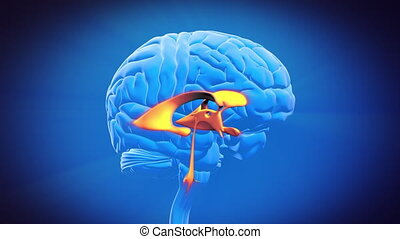Brain part - VENTRICLE