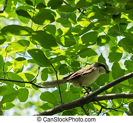 shrike - Laniidae scientific name Laniidae in birds in the...