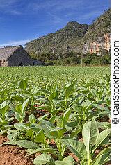 Tobacco farming on Cuba