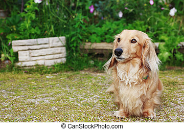 Dachshund with Long Hair Outdoors - Cute Blond Long-haired...