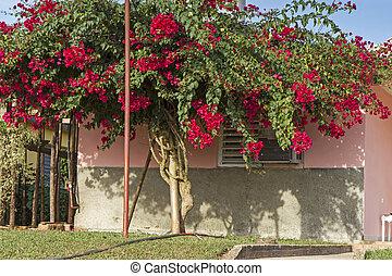 alto,  bougainvillea, árvore, flor