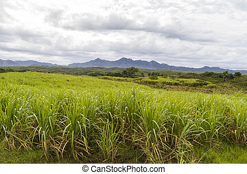 Sugar cane plantation on Cuba