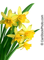Yellow spring narcissus on white background