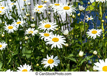marguerites - beautiful marguerites, with shallow depth of...