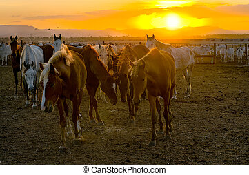 Horses and cattle at sunset - Stock horses are left to rest...