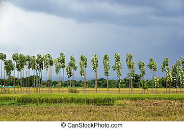 Rows of Teak Trees and Ricefields - The scene of rows teak...