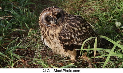 Short-eared Owl chick - Grown Short-eared owls chick sitting...