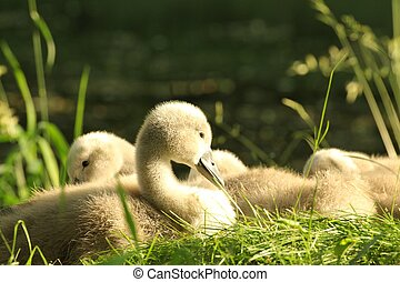 Cygnet - Family of young swans resting on the edge of the...