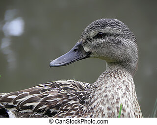 Mallard drake, duck