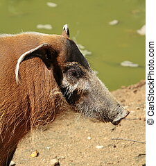 Red river hog or potamochoerus portrait - Red river hog or...