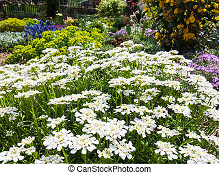 Iberis Sempervirens Candytuft - Garden scenery with white...