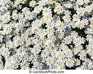 iberis sempervirens - Beautiful white flowering evergreen...