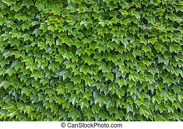 Parthenocissus tricuspidata plants as background