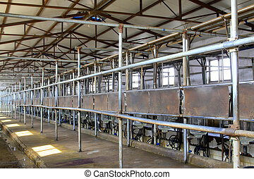 Holstein cows in a mechanization milking hall in China